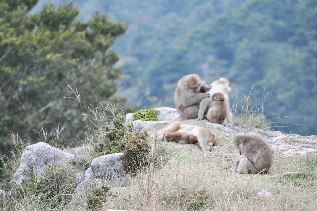 金華山の猿
